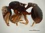 FMNHINS105086 Eurhopalothrix semicapillum P