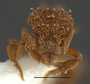 FMNHINS105087 Eurhopalothrix xibalba H
