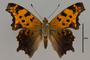 124036 Polygonia comma d IN