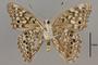 124041 Asterocampa celtis bilteral gynandromorph v IN