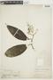 Miconia prasina (Sw.) DC., GUYANA, F