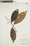Miconia prasina (Sw.) DC., FRENCH GUIANA, F
