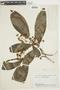Miconia prasina (Sw.) DC., BRAZIL, F
