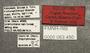 63450 Piestus foveolatus HT labels IN
