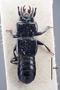 63461 Piestus Zirophorus planatus ST d IN