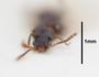 63484 Mendaxinus oculeus HT h IN
