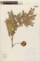 Abarema jupunba (Willd.) Britton & Killip, BRAZIL, F