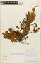 Abarema jupunba (Willd.) Britton & Killip, ECUADOR, F