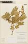 Abarema jupunba var. trapezifolia (Vahl) Barneby & J. W. Grimes, GUYANA, F