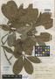 Couratari krukovii A. C. Sm., BRAZIL, B. A. Krukoff 1653, Isotype, F