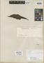 Couratari lineata Mart. ex O. Berg, BRAZIL, E. F. Poeppig 3036, Isotype, F
