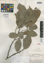 Couratari reticulata A. C. Sm., GUYANA, A. C. Smith 3561, Isotype, F
