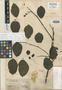 Couratari riparia Sandwith, GUYANA, G. S. Jenman 7311, Isotype, F