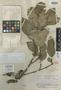 Couratari tenuicarpa A. C. Sm., BRAZIL, B. A. Krukoff 7254, Isotype, F