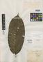 Couratari uaupensis Spruce ex O. Berg, PERU, R. Spruce 2510, Isotype, F