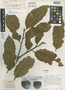 Lecythis mesophylla S. A. Mori, PANAMA, S. A. Mori 364, Isotype, F