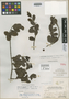 Dendropemon brevipes Britton, BAHAMAS, N. L. Britton 6324, Isotype, F