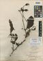 Loranthus clementis Merr., PHILIPPINES, M. S. Clemens 36936-2, Isotype, F