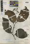 Loranthus tawaoensis Merr., Indonesia, A. D. E. Elmer 21389, Isotype, F