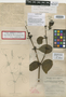 Phoradendron northropiae Urb., Bahamas, J. I. Northrop 551, Lectotype, F