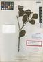 Phoradendron northropiae Urb., Bahamas, J. I. Northrop 551, Syntype, F