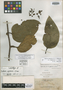 Kadsura apoensis Elmer, PHILIPPINES, A. D. E. Elmer 11718, Isolectotype, F