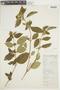 Tibouchina longifolia image