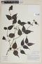 Mouriri myrtifolia Spruce ex Triana, BOLIVIA, F