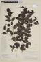 Mouriri myrtifolia Spruce ex Triana, BRAZIL, F