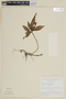 Triolena amazonica (Pilg.) Wurdack, BRAZIL, F