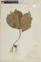 Triolena amazonica (Pilg.) Wurdack, PERU, F