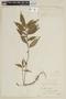 Triolena obliqua (Triana) Wurdack, ECUADOR, F