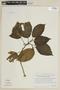 Triolena pluvialis (Wurdack) Wurdack, ECUADOR, F