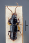 63459 Oxytelus bicornis NT d IN