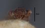 63472 Oxytelopsis brevipennis HT h IN