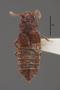 63474 Oxytelopsis excisicollis HT d IN