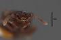63474 Oxytelopsis excisicollis HT h IN