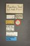 63475 Oxytelopsis reitteri HT labels IN