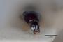2818946  Acylophorus tenuiceps LT h IN