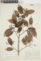Licaria guianensis Aubl., BRAZIL, F