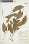 Licaria guianensis Aubl., COLOMBIA, F