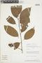Licaria guianensis Aubl., PERU, F