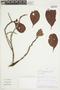 Mezilaurus palcazuensis van der Werff, PERU, F