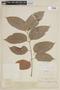 Swietenia macrophylla image