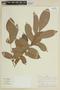 Trichilia inaequilatera T. D. Penn., PERU, F