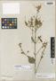 Kosteletzkya thurberi image