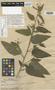 Sida acuminata var. bracei Baker, BAHAMAS, L. J. K. Brace 436, Isotype, F