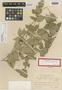 Sida glabra var. setifera Helwig, HAITI, E. L. Ekman 6651, Isotype, F