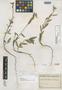 Sida fiebrigii Ulbr., PARAGUAY, K. Fiebrig 572, Isotype, F