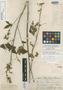 Sida oligandra K. Schum., BOLIVIA, G. Mandon 818, Isolectotype, F